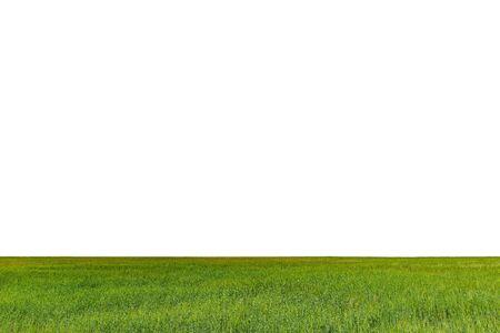 Zielone pole z żyta na białym tle.