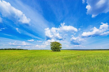 Green field with rye and lonely tree under the blue sky at day time. Reklamní fotografie