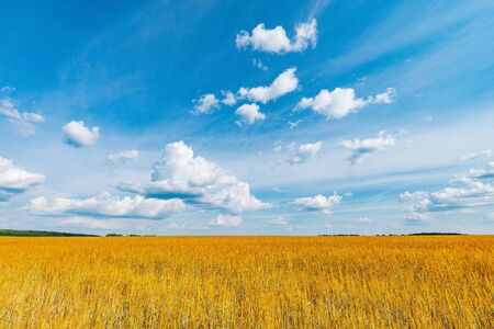 Yellow field with rye under the blue sky at day time.