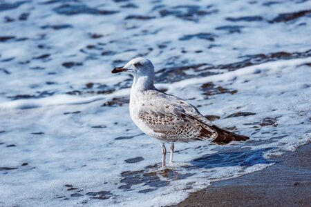 Seagull walks on the sea shore at evening time. 스톡 콘텐츠