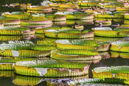 Big Green leaves of lotus in the swamp. City park. Shenzhen. China. Stock Photo