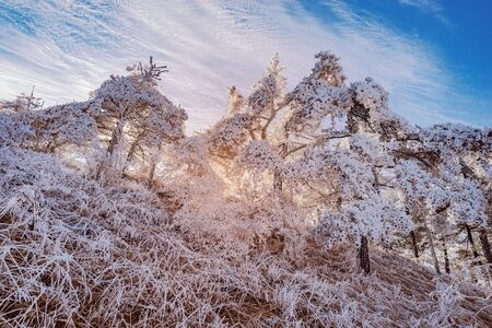 Frozen trees at sunrise time. Huangshan National park. China.