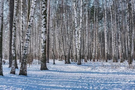 Birch tree grove at sunny winter day time. Imagens