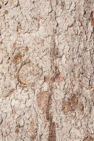 Spruce tree bark texture. Surface of the old tree trunk. Imagens