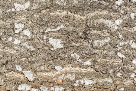 Birch tree bark texture. Surface of the tree trunk.