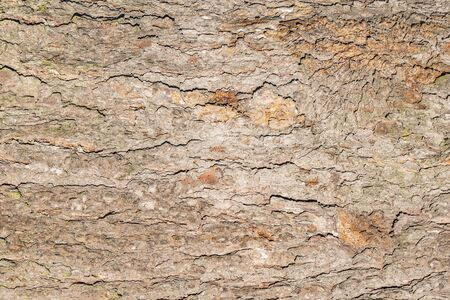 Pine tree bark texture. Surface of the old tree trunk.
