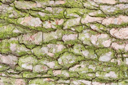 Green moss on the pine tree bark surface. Imagens
