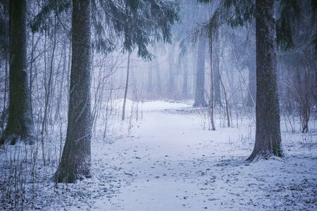 Snowfall in the forest at winter evening.