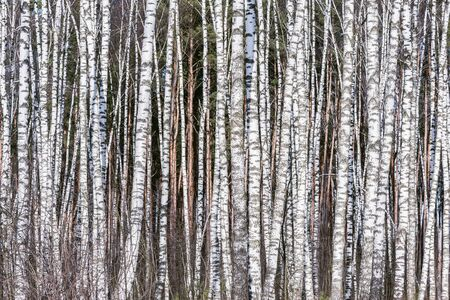 Birch tree trunks in the spring forest. Imagens