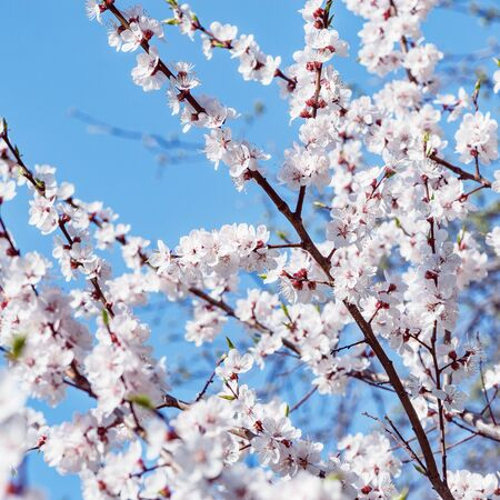 Blossoming cherry branch with white flowers on blue sky background.