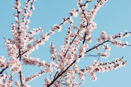 Blossoming cherry branch with white flowers at spring morning time. Imagens