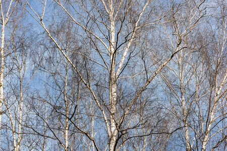 Birch trees branches on the sky background.