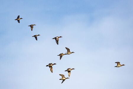 Flock of ducks flying in the sky at early springtime.