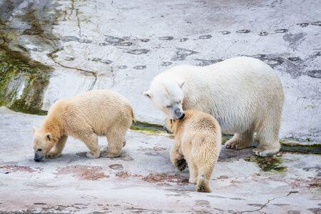 White polar bears on the stone background. Stock Photo