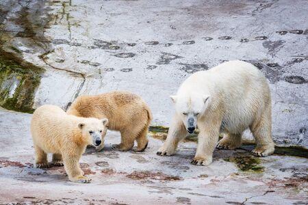 White polar bears on the stone background.