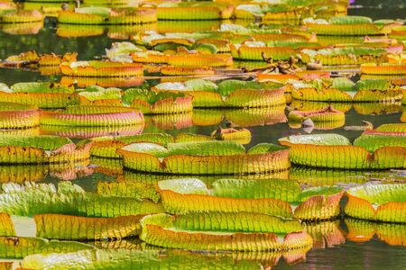 Big green leaves of lotus in the swamp. City park. Shenzhen. China.