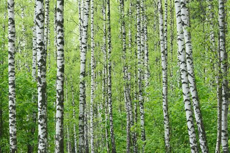 Birch tree grove at spring time. Spring forest background. Standard-Bild
