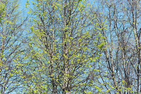 Green trees crowns on the blue sky background,.