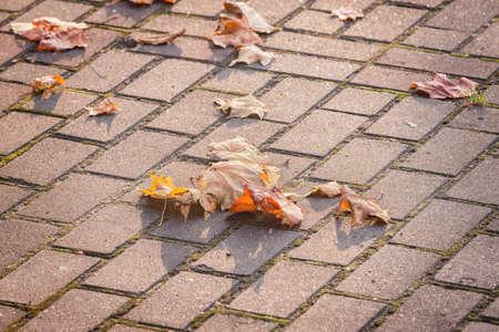 Dry maple leaves on the sidewalk.