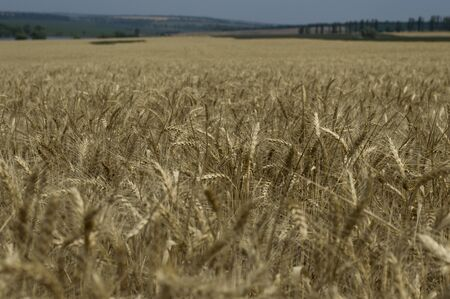 maturing: field of cereal cultures during maturing