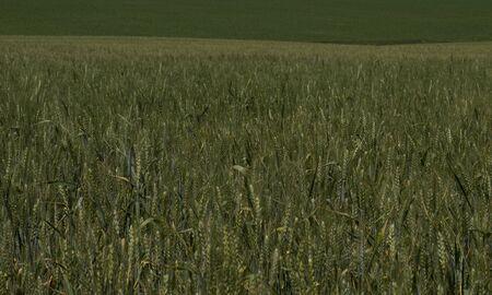 maturing: green wheat field during maturing
