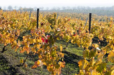fall, bright yellow vineyards on slopes, a subject seasons and the nature Stock Photo