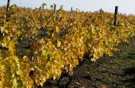 vineyard fragment on a hill slope, gold leaves, fall, a subject seasons and the nature