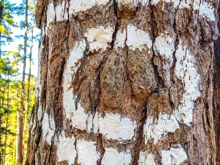 Urdaibai Biosphere Reserve, Bizkaia,Spain; 2018-04-16: Trunks of painted pine in El bosque de Oma, Stock Photo