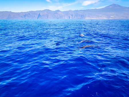 Dolphins swimming in the Atlantic Ocean in front of Los Gigantes, Canary Islands, Tenerife Stockfoto