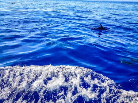 Dolphins swimming in the Atlantic Ocean in front of Los Gigantes, Canary Islands, Tenerife 免版税图像