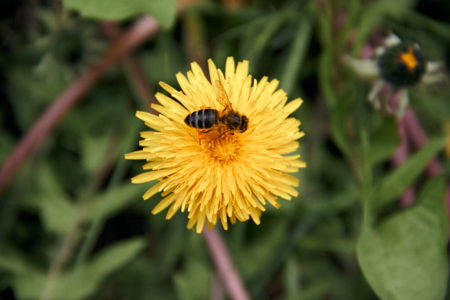 Pollen collecting bee in yellow dandelion flower with diffused green grass background. Imagens