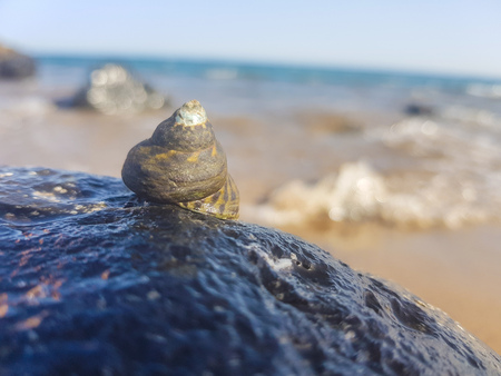 sea snail supported on the rock and wet by the sea