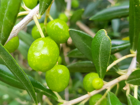 Green olives on the branches before they are harvested for food such as olives or to produce oil