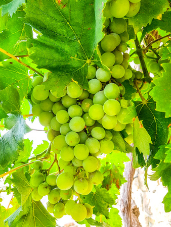 Selected varieties of healthy, ripe and juicy white grapes ready to be harvested