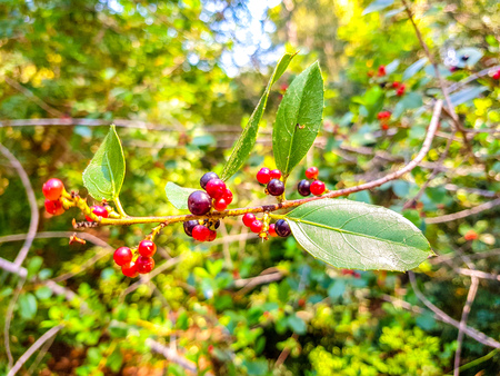 red and black berries on the branch of the bush. Albufera of Valencia, Spain Stockfoto