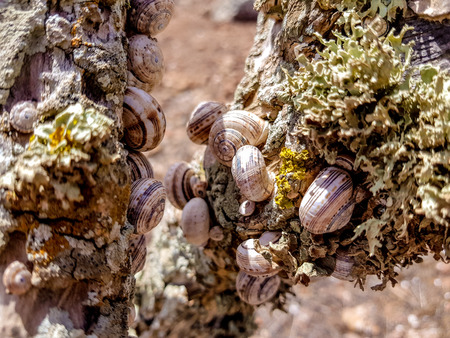 group forest snail, Cepaea nemoralis sits on the branch on the island of Lanzarote, Spain.