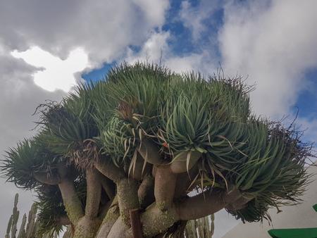 Beau drago à Lanzarote, Espagne
