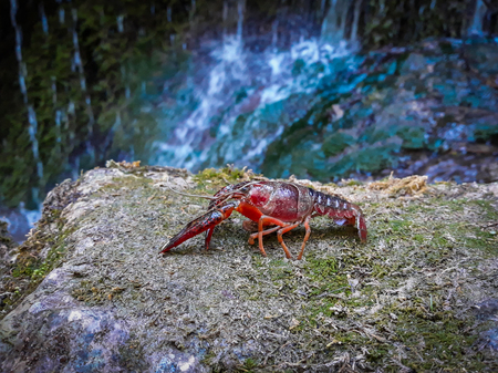 foreground of a red crayfish with a background of water cascade blurred Stockfoto