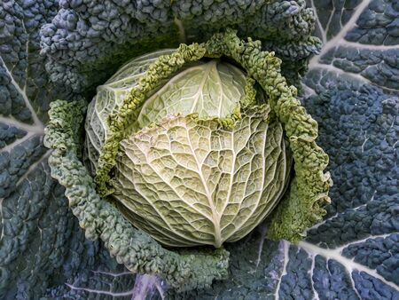 Large cabbage in the garden ready to be picked up and taken to the kitchen
