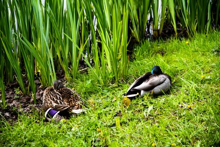 a pair of ducks resting on the greenish shore with hurdles in the background Stockfoto