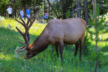 Male deer grazing in Yellowstone National Park
