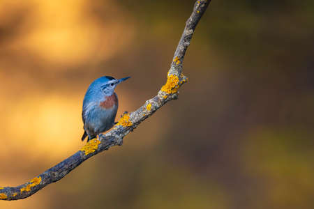 Cute little bird. Autumn nature background. Bird: Krupers Nuthatch. Sitta cruiser. Ankara Turkey.