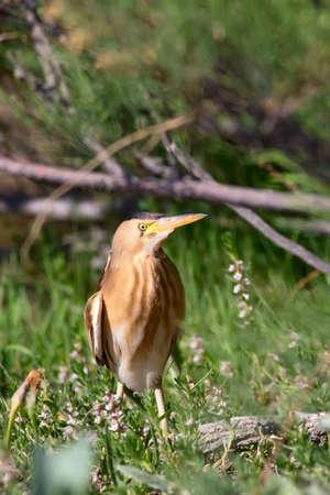 Little Bittern. Ixobrychus Nature habitat background. Kayseri Sultan Reed. Turkey. Imagens