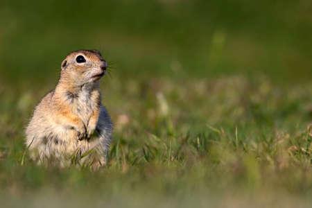 Cute animal. European Ground Squirrel. Green nature background. European Sousl Spermophilus citellus.