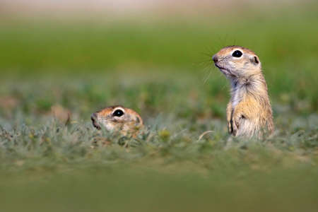 Cute animal. European Ground Squirrel. Green nature background. European Sousl Spermophilus citellus. Ankara Turkey.