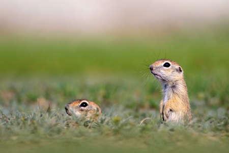 Cute animal. European Ground Squirrel. Green nature background.
