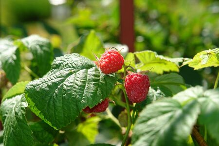 ripened: Mature berries of garden raspberry on the bush, illuminated by the sun Stock Photo