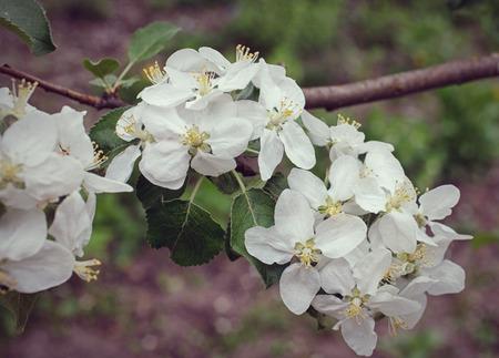 umbel: Cherry blossom umbel against garden background
