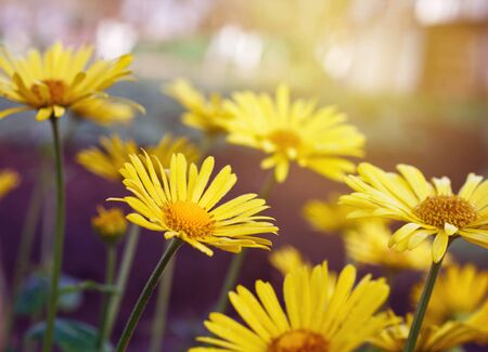 yellow daisy flowers Stock Photo