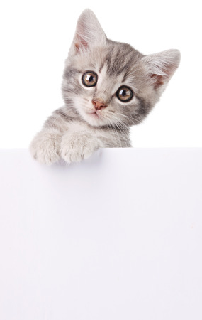 beautiful little emotional gray kitten with white board